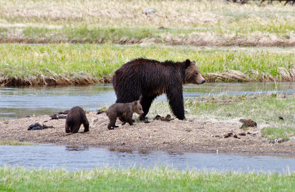 Where To See Baby Animals In Yellowstone National Park